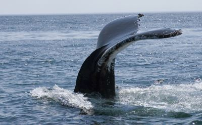 whale on cruise to Canada